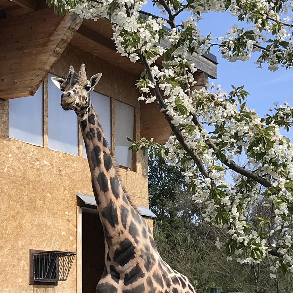 Giraffen Schönbrunn